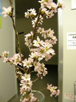 183 桜の花 02.JPG