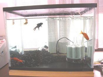 251-2 金魚 水槽.JPG