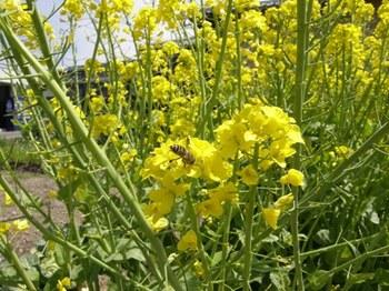 376-1 菜の花.JPG