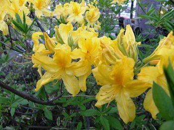 507-1-2 黄色のツツジ.JPG