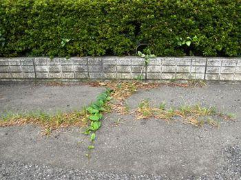 549-1 蔓草と芝生.JPG