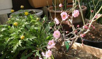 583-1 福寿草と梅の花.JPG