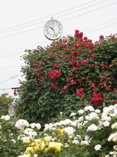 601-6 バラ園 時計.JPG