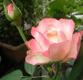 601-7 バラの花.JPG