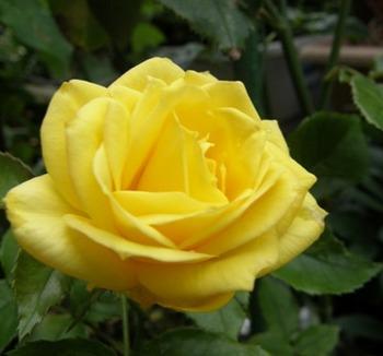 601-9 バラの花.JPG