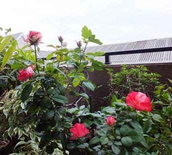 629-1 バラ 女子高生.JPG