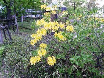 507-1 黄色いツツジ.JPG